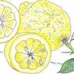 AE.lemons.image.Scanned